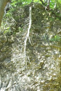 A tree root has lost its soil and has been bleached by the sun.