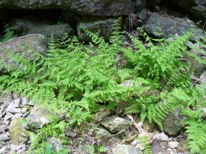 Gorgeous ferns growing out of the rocks in the Elora Gorge.