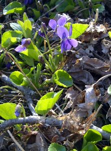 Watch for violets and other flora along the Elora Cataract Trail